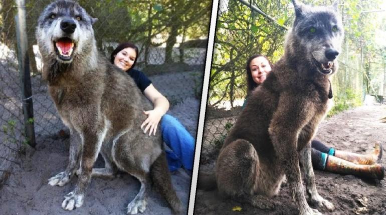 Uratowali ogromnego wilka. Gdy zbadali jego DNA doznali szoku