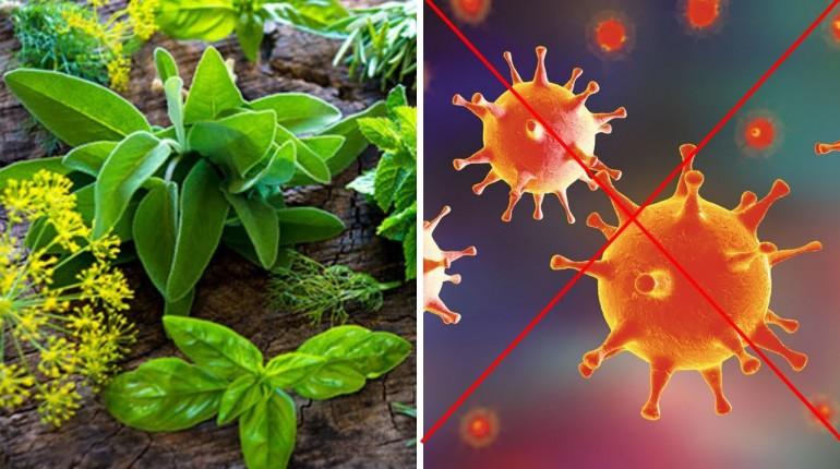 Najlepsze zioła przeciw wirusom - Ochrona antywirusowa od matki natury!
