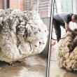 Owca zniknęła na 5 lat. Gdy ją znaleźli nie mogli uwierzyć co odkryli